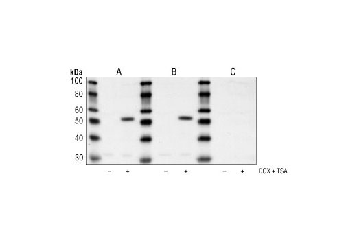 Western blot analysis of extracts from HeLa cells, untreated or treated with both trichostatin A #9950 (400 nM for 24 hours), and doxorubicin (0.5 µM for 24 hours) using Acetyl-p53 (Lys382) Antibody alone (A), antibody preincubated with a non-acetylated Lys382 peptide (B), or antibody preincubated with an acetylated Lys382 peptide (C).