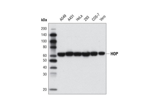 Western blot analysis of whole cell extracts from various cell lines using HOP (D10E2) XP<sup>®</sup> Rabbit mAb.