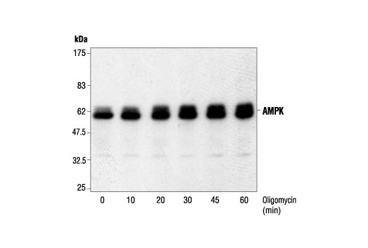 Western blot analysis of extracts from HEK293 cells, untreated or oligomycin-treated (0.5μM) for the indicated times, using AMPKα Antibody.