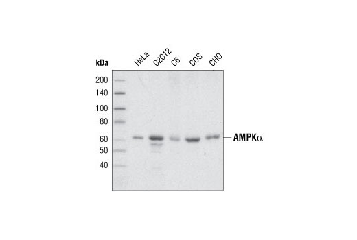 Western blot analysis of extracts from various cell lines using AMPK alpha Antibody