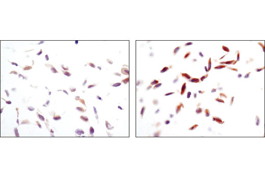 Immunohistochemical analysis of paraffin-embedded NCI-H228 cell pellets, control (left) or phenformin-treated (right), using Phospho-AMPKalpha (T172) (40H9) Rabbit mAb.