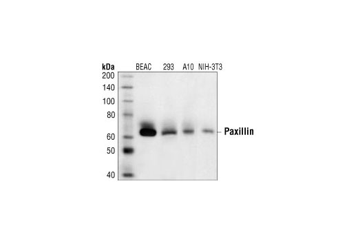 Western blot analysis of extracts from various cell lines, using Paxillin Antibody.