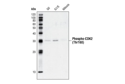 Western blot analysis of extracts from HeLa cells synchronized in G0, G1/S or Mitosis, using Phospho-CDK2 (Thr160) Antibody.