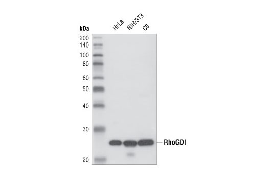 Western blot analysis of HeLa, NIH/3T3 and C6 cells, using RhoGDI Antibody.
