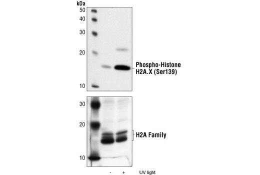 Western blot analysis of extracts from 293 cells, untreated or UV-treated, using Phospho-Histone H2A.X (Ser139) Antibody (upper) or Histone H2A Antibody #2572 (lower).