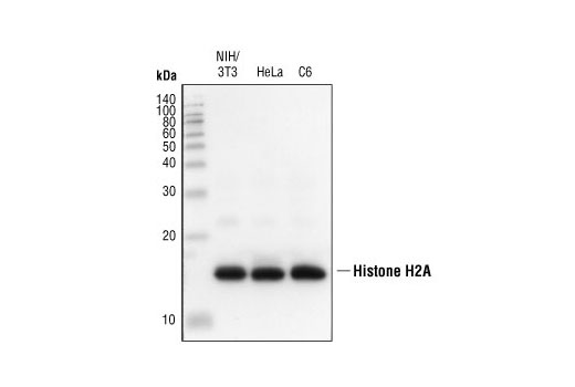 Western blot Analysis of extracts from NIH/3T3, HeLa and C6 cells using Histone H2A Antibody II.