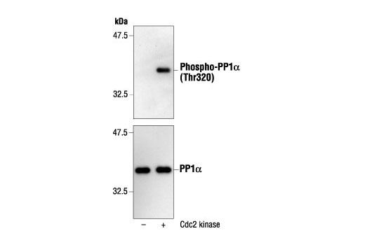 Western blot analysis of Recombinant PP1α, incubated with or without cdc2 protein kinase in the presence of ATP and kinase assay buffer at 30ºC for 30 minutes, using Phospho-PP1α (Thr320) Antibody (upper) or control PP1α Antibody #2582 (lower).