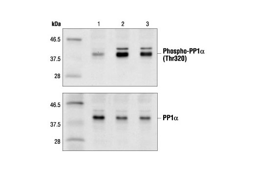 Western blot analysis of extracts from HeLa cells, asynchronous (lane 1), G2/M (lane 2) or released from G2/M for 6 hours (lane 3), using Phospho-PP1α (Thr320) Antibody (upper) or PP1α Antibody #2582 (lower).