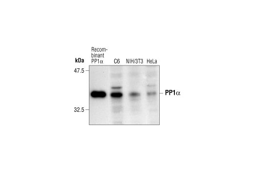 Polyclonal Antibody - PP1α Antibody - Western Blotting, UniProt ID P62136, Entrez ID 5499 #2582 - Cell Cycle / Checkpoint Control
