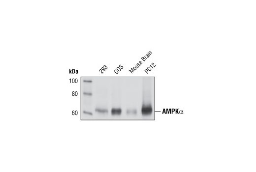 Monoclonal Antibody - AMPKα (23A3) Rabbit mAb - Western Blotting, UniProt ID P54646, Entrez ID 5562 #2603, Antibodies to Kinases