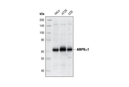 Western blot analysis of extracts from HeLa, HT29 and COS cells, using AMPKα1 Antibody.