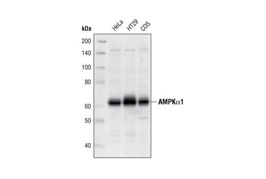 Polyclonal Antibody - AMPKα1 Antibody - Western Blotting, UniProt ID Q13131, Entrez ID 5562 #2795, Ampk-Alpha