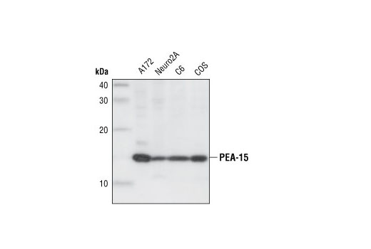 Western blot analysis of extracts from A172, Neuro2A, C6 and COS cells, using PEA-15 Antibody.