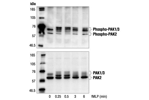 Western blot analysis of extracts from guinea pig neutrophils stimulated with fMLP for indicated times, using Phospho-PAK1 (Ser144)/PAK2 (Ser141) Antibody (upper) and PAK1/2/3 Antibody #2604 (lower).