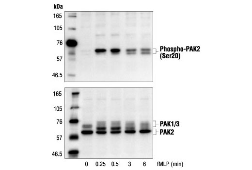 Western blot analysis of extracts from guinea pig neutrophils stimulated with fMLP for the indicated times, using Phospho-PAK2 (Ser20) Antibody (upper) or PAK1/2/3 Antibody #2604 (lower).