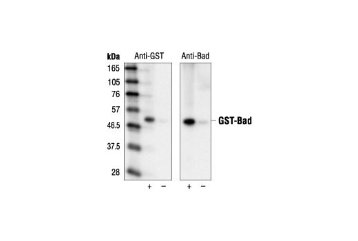 Monoclonal Antibody - GST (26H1) Mouse mAb - 100 µl #2624 - #2624