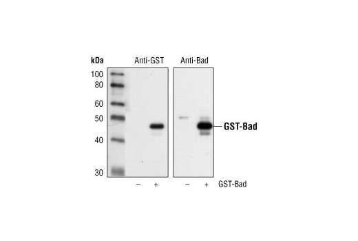 Monoclonal Antibody - GST (91G1) Rabbit mAb - Immunoprecipitation, Western Blotting #2625 - #2625