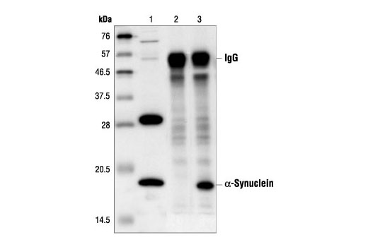Immunoprecipitation of α-synuclein from HeLa cell extracts, using α-Synuclein Antibody. Lane 1 is lysate control, lane 2 is antibody alone and lane 3 is both antibody and lysate.
