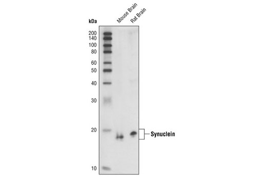 Western blot analysis of extracts from mouse and rat brain, using α/β-Synuclein (Syn205) Mouse mAb.