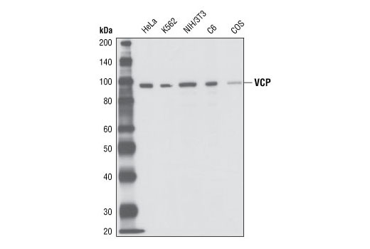 Western blot analysis of extracts from HeLa, K562, NIH/3T3, C6 and COS cells, using VCP Antibody.