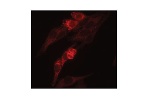 Polyclonal Antibody Retrograde Protein Transport