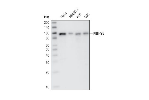 Polyclonal Antibody Immunoprecipitation Viral Infectious Cycle