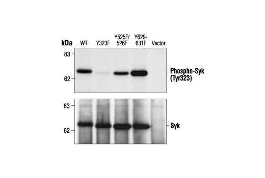 Western blot analysis of extracts from 293T cells expressing recombinant wild-type or mutant Syk proteins, cotransfected with CD8, using Phospho-Syk (Tyr323) Antibody (upper) or Syk Antibody #2712 (lower). (Provided by Dr. Alagarsamy L. Reddi, laboratory of Dr. Hamid Band, Harvard University, Massachusetts.)