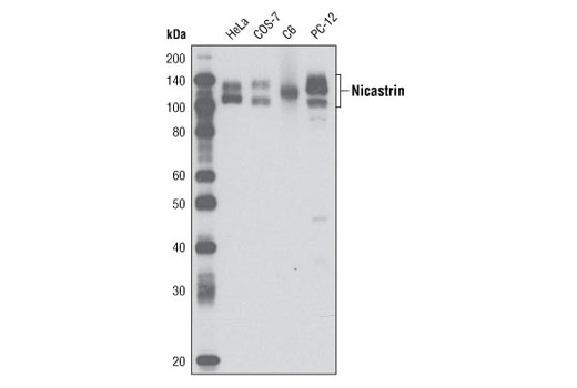 Western blot analysis of extracts from various cell lines using Nicastrin (D38F9) Rabbit mAb.