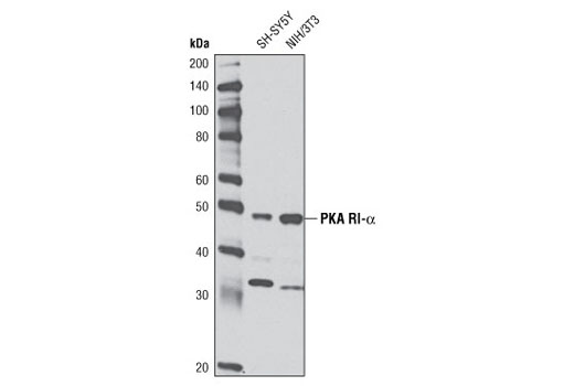 Monoclonal Antibody - PKA RI-α (D54D9) Rabbit mAb - Immunoprecipitation, Western Blotting, UniProt ID P10644, Entrez ID 5573 #5675 - Ca, Camp and Lipid Signaling