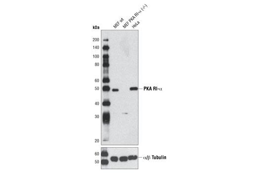 Western blot analysis of extracts from MEF wild-type, MEF PKA RI-α (-/-) and HeLa cells using PKA RI-α (D54D9) Rabbit mAb. MEF wild-type and PKA RI-α (-/-) cells were kindly provided by Dr. Lawrence Kirschner, The Ohio State University, Columbus, OH.
