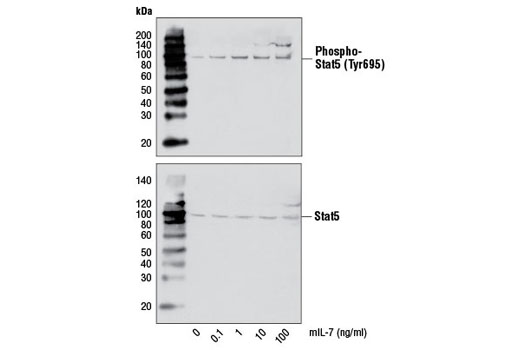 Western blot analysis of extracts from 2E8 cells, untreated or treated with mIL-7 for 15 minutes, using Phospho-Stat5 (Tyr695) (C11C5) Rabbit mAb Antibody #9359 (upper) and Stat5 (3H7) Antibody #9358 (lower).