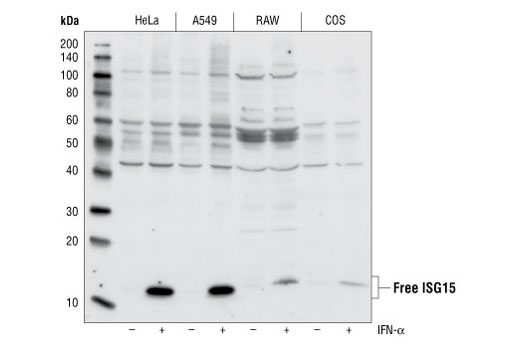 Western blot analysis of lysates from HeLa, A549, RAW and COS cells, treated with or without IFN (1000 U/mL) for 24 hours, using ISG15 antibody.