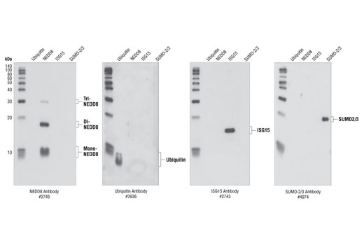 Western blot analysis of NEDD8, Ubiquitin, ISG15 and SUMO-2/3 recombinant proteins (5 ng each), using NEDD8 (#2745) , Ubiquitin (#3936), ISG15 (#2743) and SUMO-2/3 (#4974) Antibodies.