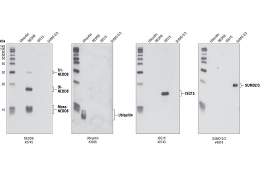 Western blot analysis of Ubiquitin, NEDD8, ISG15 and SUMO-2/3 recombinant proteins (5 ng each), using NEDD8, Ubiquitin, ISG15 and SUMO-2/3 Antibodies.