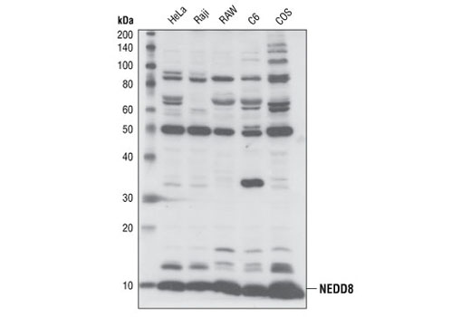 Western blot analysis of lysates from HeLa, Raji, RAW, C6 and COS cells, using NEDD8 antibody.