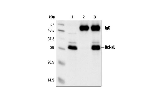 Immunoprecipitation of Bcl-xL from Jurkat cell extracts, using Bcl-xL Antibody. Lane 1 is the lysate control; lane 2 is antibody alone and lane 3 is antibody plus lysate.