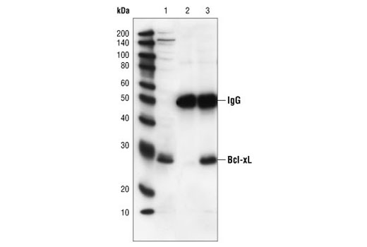 Immunoprecipitation of Bcl-xL from Jurkat cell extracts, using Bcl-xL (54H6) Rabbit mAb. Lane 1 is the lysate control, lane 2 is antibody alone and lane 3 is antibody plus lysate.