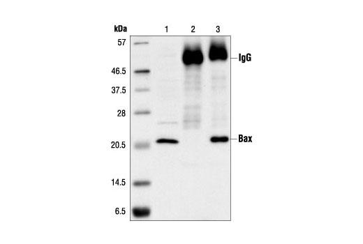 Immunoprecipitation of Bax from Jurkat cell extract, using Bax Antibody. Lane 1 is the lysate control; lane 2 is antibody alone; lane 3 is antibody plus lysate.
