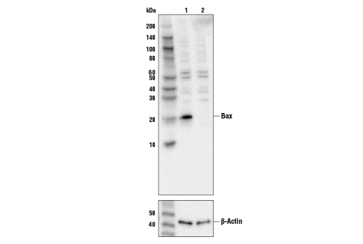 Western blot analysis of HeLa cell extracts, untreated (-) or Bax knock-out (+), using Bax Antibody #2772 (upper) or β-actin (13E5) Rabbit mAb #4970 (lower).
