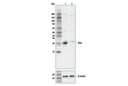 Western blot analysis of HeLa cell extracts, untreated (-) or Bax knock-out (+), using Bax Antibody #2774 (upper) or β-actin (13E5) Rabbit mAb #4970 (lower).