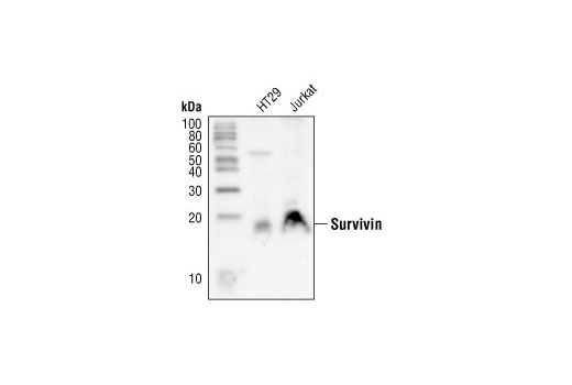 Western blot analysis of extracts from HT29 and Jurkat cells, using Survivin Antibody.