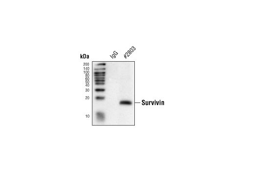 Immunoprecipitation of lysates from Jurkat cells using either control rabbit IgG or Survivin Antibody and then probed by Western blot, using Survivin (6E4) Mouse mAb #2802.