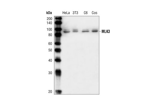 Western blot analysis of extracts from HeLa, NIH/3T3, C6 and COS cells using MLK3 Antibody.