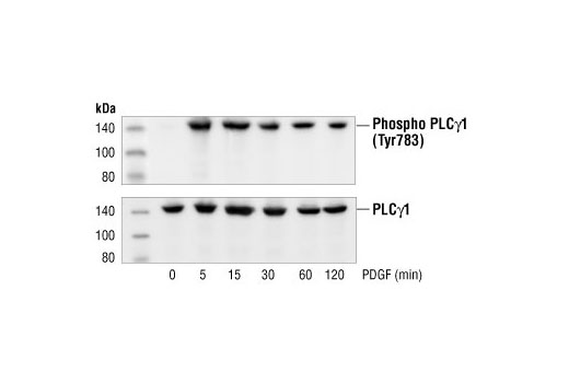 Mouse Phospholipase c Activation