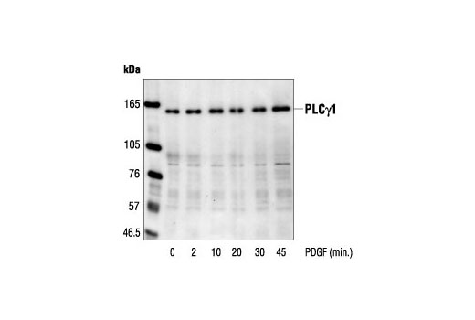 Western blot analysis of extracts from NIH/3T3 cells, untreated or PDGF-stimulated for the indicated times, using PLCγ1 Antibody.