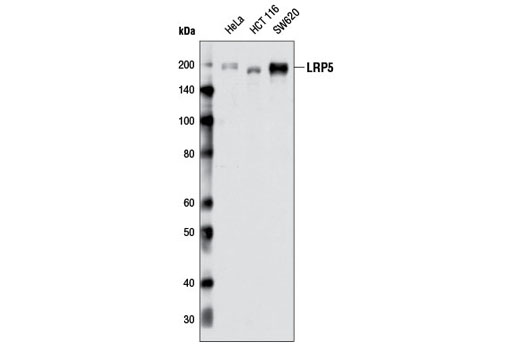 Monoclonal Antibody Immunoprecipitation Wnt-Protein Binding