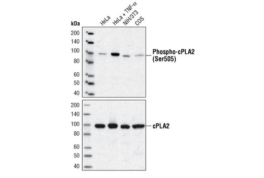 Western blot analysis of extracts from HeLa cells, untreated or TNF-α-treated (10 ng/ml for 15 minutes), and NIH/3T3 and COS cells, using Phospho-cPLA2 (Ser505) Antibody (upper) or cPLA2 Antibody #2832 (lower).