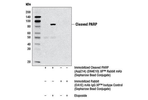 Monoclonal Antibody - Cleaved PARP (Asp214) (D64E10) XP® Rabbit mAb (Sepharose® Bead Conjugate), UniProt ID P09874, Entrez ID 142 #5838, Apoptosis