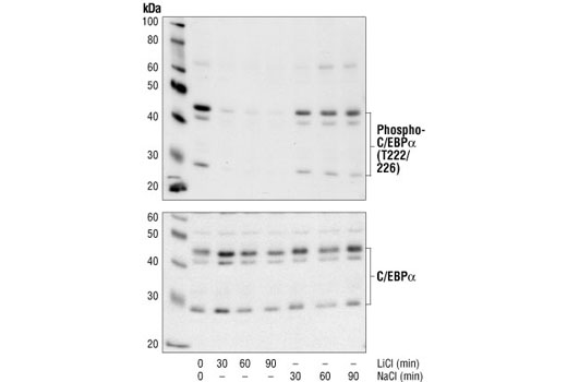 Western blot analysis of extracts from U937 cells treated with either LiCl or NaCl for the indicated times, using Phopho-C/EBPalpha (Thr222/226) Antibody (upper) and C/EBPalpha antibody (lower). C/EBPalpha phosphorylation at Thr222/226 is abolished by the specific GSK3 inhibitor LiCl, but not by NaCl, indicating that phosphorylation at these sites are depends on GSK3 kinase.