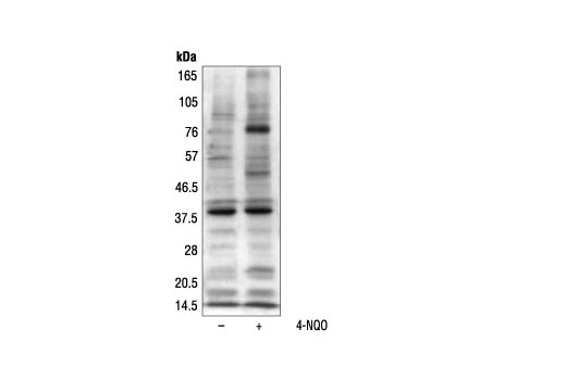 Western blot analysis of yeast cell extracts, untreated or treated with 4-NQO, a potent activator of ATM/ATR orthologues, using Phospho-(Ser/Thr) ATM/ATR Substrate Antibody.